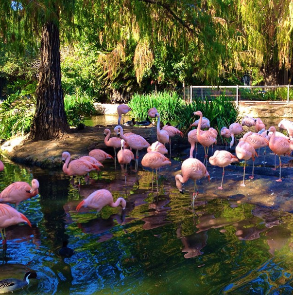 San Diego-Safari Park-Flamingos