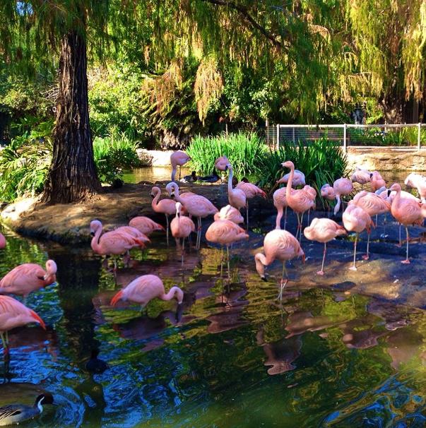 San Diego-Safari Park-Flamingos