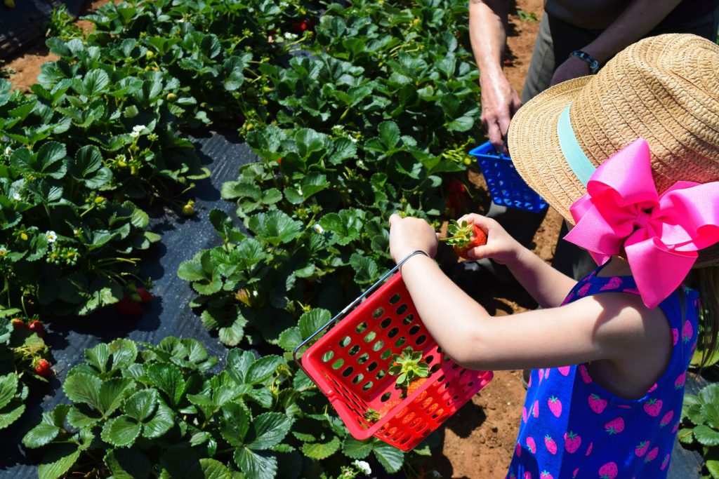 Strawberry-Picking-Strawberry Farm